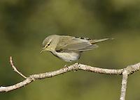 Iberian Chiffchaff - Phylloscopus ibericus