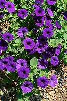 Petunia xhybrida (Blue Wave), Nightshade Family, flower garden, flowering plants, botany.Phil Degginger