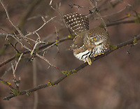 Northern Pygmy-Owls twitch their tails when hunting and sometimes spread the feathers before taking flight (Washington)