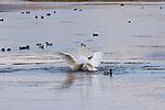Trumpeter Swans fighting on Flat Creek in the National Elk Refuge, Wyoming.