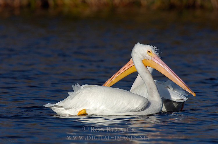 Two-headed White Pelican American White Pelican Rough-billed Pelican Pelecanus erythrorhynchos Sepulveda Wildlife Refuge Southern California