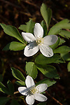 Wood Anemone, Anemone quinquefolia a member of the buttercup family. Found in Breakheart Reservation, Wakefield, MA in early May.