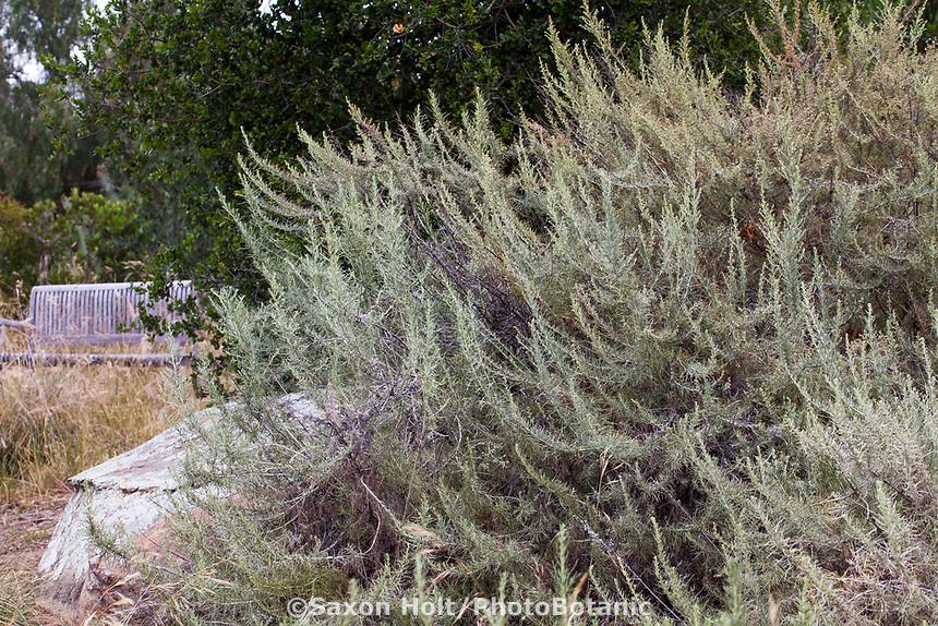 Artemisia californica, California sagebrush, gray fragrant foliage native plant in summer-dry garden Santa Barbara California