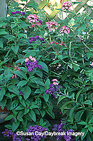 63821-045.17 Pink Pentas (Pentas lanceolata) & Heliotrope (Heliotropium arborescens) on deck   Marion Co. IL