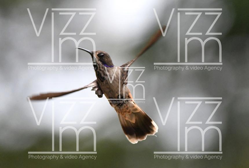 CALI-COLOMBIA, 25-02-2020: Colibri Pardo (Colibri Delphinea), especie de ave presente en el Corregimiento San Antonio, municipio de Cali, en el Departamento del Valle del Cauca. / Brown Violetear Hummingbird (Colibri Delphinea),bird species present in San Antonio Town, in Cali City in Valle del Cauca Department. Photo: VizzorImage / Luis Ramirez / Staff.