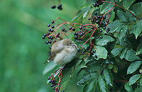Garden Warbler, Sylvia borin, adult on Common Elderberry (Sambucus nigra), Oberaegeri, Switzerland, September 1998