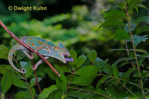CH38-553z Female Veiled Chameleon tongue flicking to catch insect prey, Chamaeleo calyptratus, for sequence see CH38-548z and CH38-549z and CH38-550z.