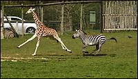 Wacky Races - Young giraffe beats zebra in a spring race.