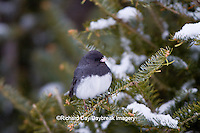 01569-01507Dark-eyed Junco (Junco hyemalis) in spruce tree in winter, Marion Co., IL