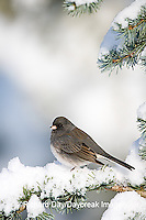 01569-014.06 Dark-eyed Junco (Junco hyemalis) on Blue Atlas Cedar (Cedrus atlantica 'Glauca') in winter, Marion Co.  IL
