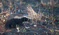 One my clients spotted a honey badger--my first--on evening and morning drives in Kruger National Park.