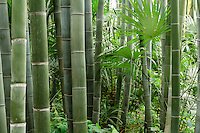 France, Gard, Générargues, LA BAMBOUSERAIE : bambous, Phyllostachys et palmiers de Chine, Trachycarpus fortunei.
