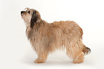 Catalan Sheepdog, Female, Standing, Studio, White Background