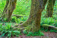 Olympic National Park, WA     <br /> Moss and lichen covered bigleaf maple (Acer marcophyllum) trunk and roots along the Hall of Mosses trail