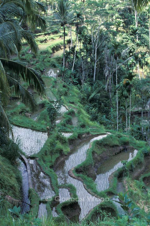 Terraced Farming, Bali
