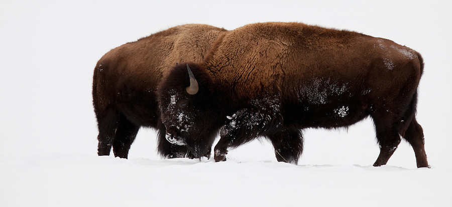 Two buffalo stand next to each other on a snowy field in Yellowstone National Park.