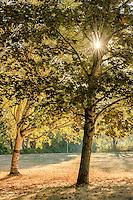 Maple and Birch Trees, Lake Sammamish, Washington