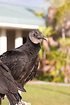 Black Vulture at the Royal Palm Visitor Center, Everglades National Park, Florida
