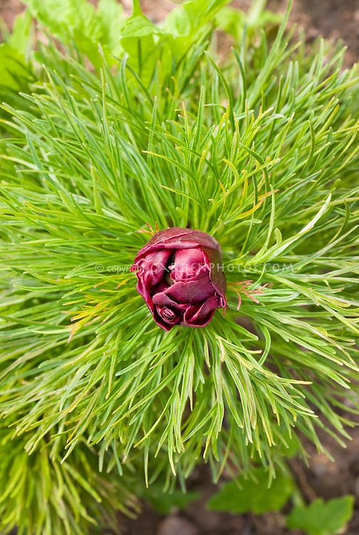 Paeonia tenuifolia in bud peony