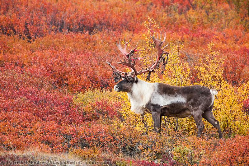 Large bull caribou with shedding velvet antlers walks through crimson colored dwarf birch tundra in Denali National Park.