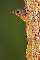 Eastern Bluebird, Sialia sialis, male in nesting cavity, Willacy County, Rio Grande Valley, Texas, USA, June 2006