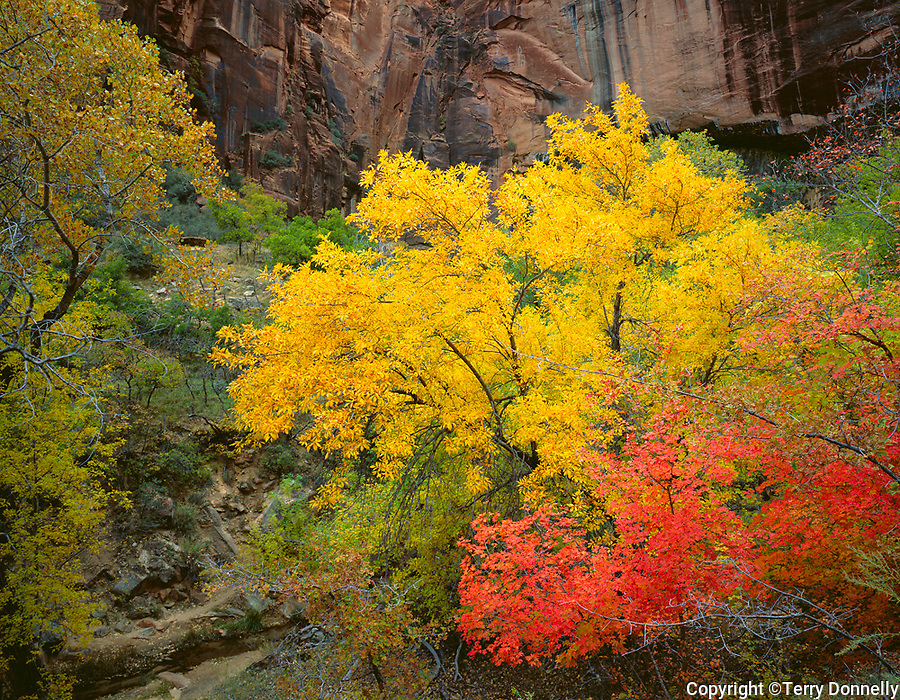 Zion National Park, UT<br /> Fall colors of mixed hardwood trees in the wash under the Weeping Rock