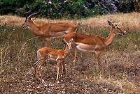 Impala, Nairobi National Park, Kenya