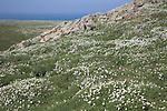 Sea campion Skomer Island, Pembrokeshire, Wales