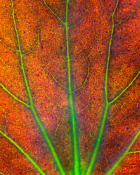 The coursing veins of a backlit begonia leaf.