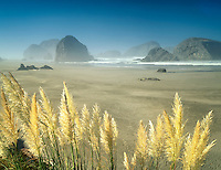 Pampas grass and beach at Cape Sebastian State Park, Oregon.