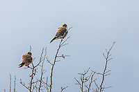 American Kestrel pair, Grand Teton National Park, Jackson Hole, Wyoming