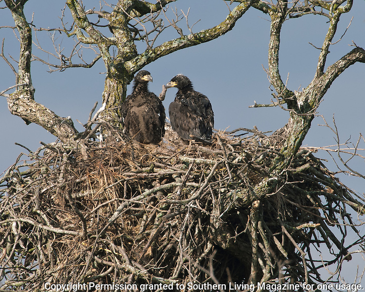 Eaglets from the Llano Bald Eagle Nest, six weeks old (first one hatched on January 19, 2005).
