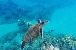 Snorkeling off of the island of Maui, Hawaii, USA