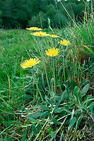 MOUSE-EAR HAWKWEED Pilosella officinarum (Asteraceae) Height to 25cm. Variable, hairy perennial. Plant has creeping runners and often forms mats. Stems produce a milky latex when broken. Grows in a wide range of dry, grassy places, from meadows to heaths. FLOWERS are borne in heads, 2-3cm across, with pale yellow florets that have a red stripe below; heads are solitary on leafless stems (May-Oct). FRUITS have unbranched hairs. LEAVES are spoon-shaped, green and hairy above and downy white below; arranged in a basal rosette. STATUS-Widespread and common throughout.