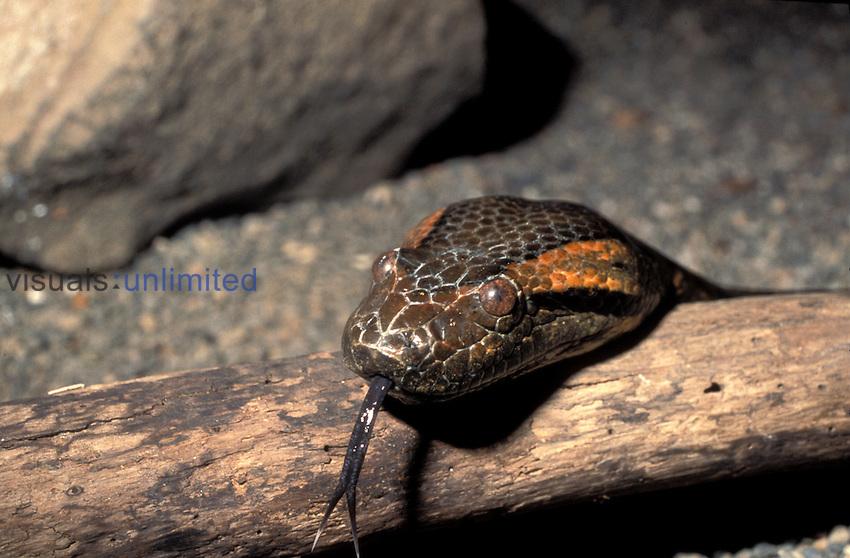 Anaconda with tongue out ,Eunectus murinus,