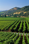 Vineyards in spring near Oakville Cross Road, Napa Valley, Napa County, CALIFORNIA