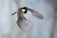 Kohlmeise, im Flug, Flugbild, fliegend, Kohl-Meise, Meise, Meisen, Parus major, Great tit, flight, flying, La Mésange charbonnière
