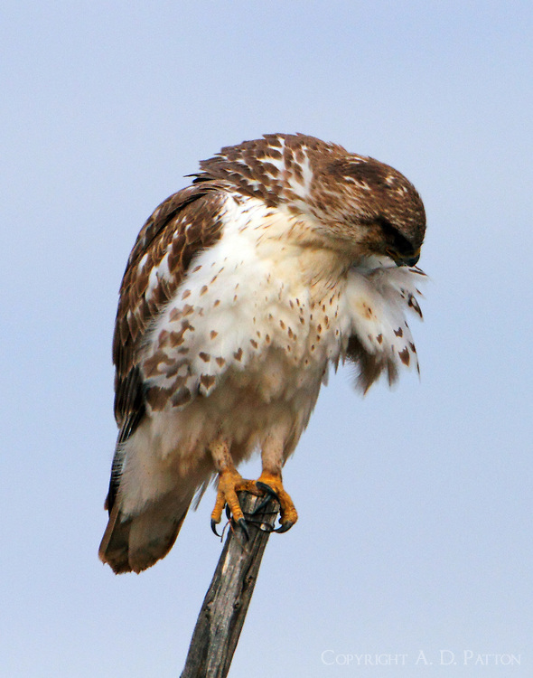 Juvenile light-morph ferruginous hawk preening