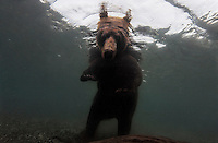 The first known picture of a brown bear fishing underwater was taken in the clear waters of Kurilskoe Lake Preserve, a world heritage site.