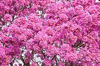 Belo Horizonte_MG, Brasil...Detalhe de Ipe rosa em Belo Horizonte, Minas Gerais...Pink Ipe (Brazilian typical tree) in Belo Horizonte, Minas Gerais...Foto: JOAO MARCOS ROSA / NITRO