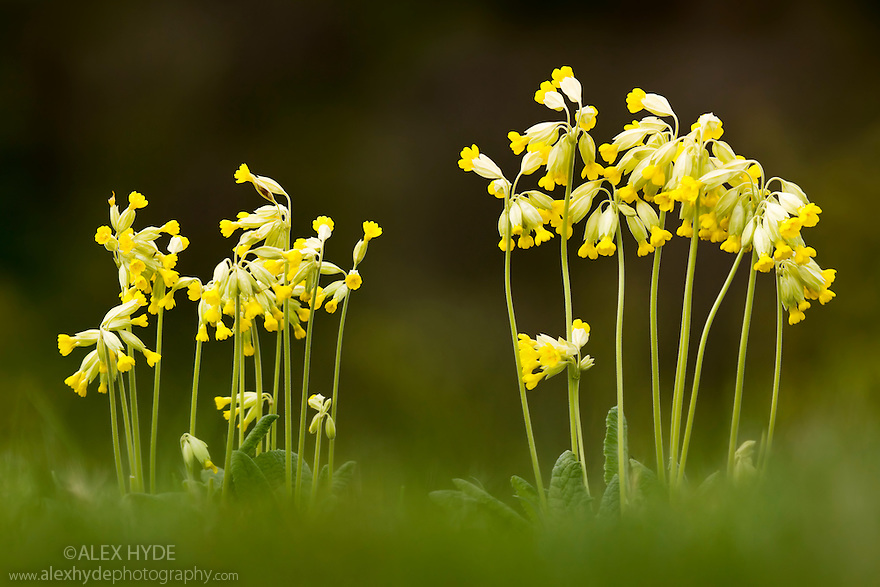 Cowslips {Primula veris}, Peak District National Park, Derbyshire, UK.