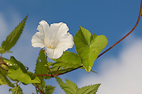 Gewöhnliche Zaunwinde, Zaun-Winde, Calystegia sepium, Bindweed, Granny Pop Out Of Bed