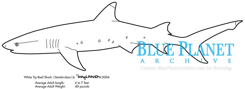 White tip reef shark, Triaenodon obesus, illustration by the artist Wyland
