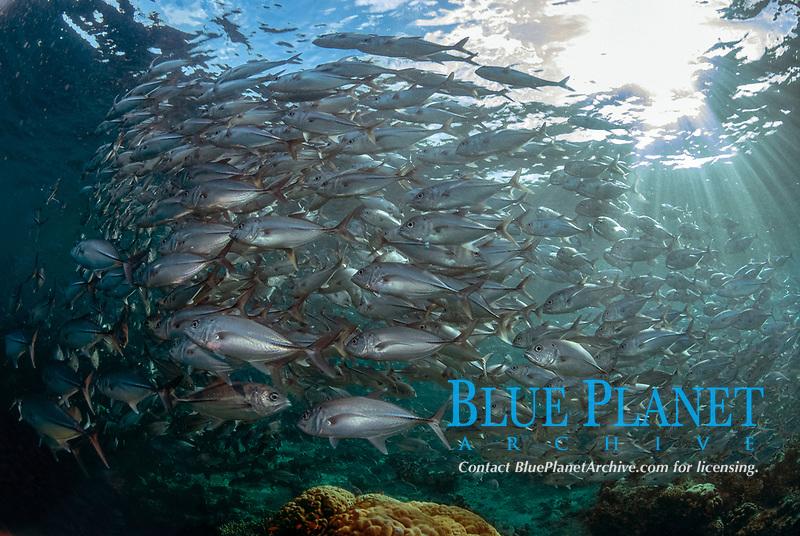 School of Bigeye Trevally, Caranx sexfasciatus, Barracuda Point dive site, Sipadan island, Sabah, Malaysia, Celebes Sea