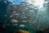 School of Bigeye Trevally, Caranx sexfasciatus, Barracuda Point dive site, Sipadan island, Sabah, Malaysia, Celebes Sea