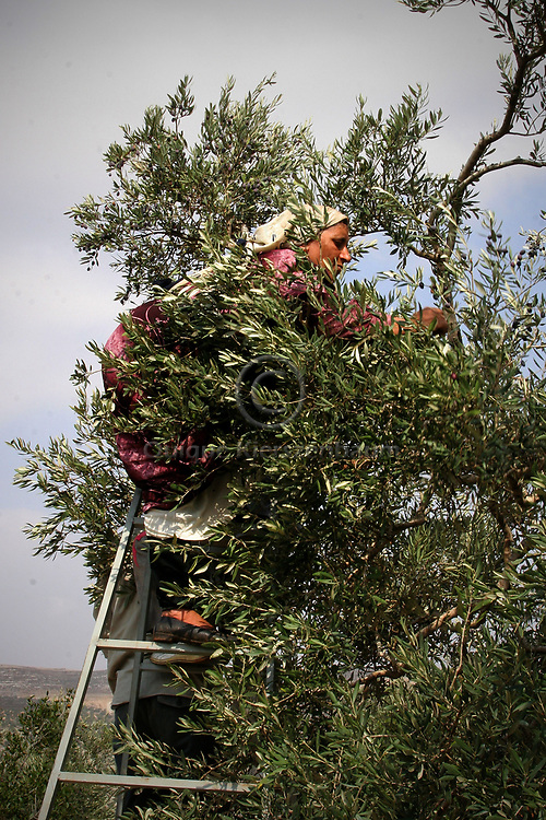 A Palestinian woman member of the Ali family  picks olives in the Palestinian village of Jama'in, in the West Bank October 19, 2006. Part of the olive trees of the Ali family are in the border with the Jewish Settlement of Tapuach, which makes it very dangerous for the family to pick the olives because of continuous attacks and threats by Jewish settlers to members of the family. In order to harvest the trees this year by an Israeli Court decision the family has been protected by Israeli security forces. To make sure the family can harvest the trees the family also is receiving the help of an Israeli NGO called Rabbis for Human Rights. RHR helps the Palestinian families not only with their presence but also with volunteers who help with the harvest in the border and friction areas with Jewish Settlers. Photo by Quique Kierszenbaum