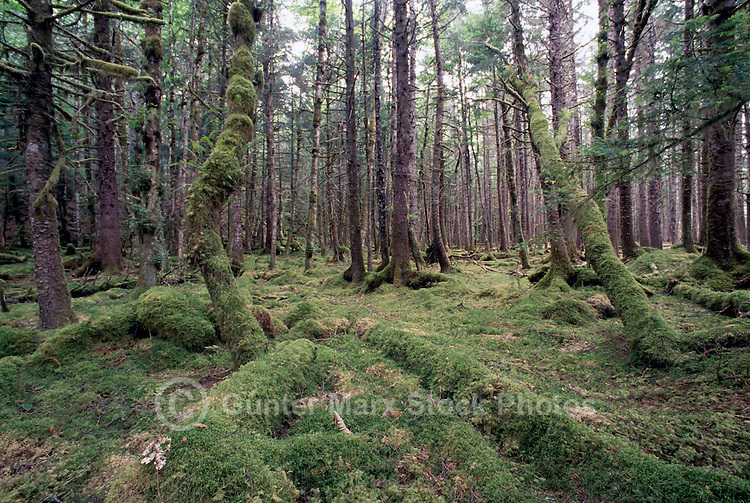 Queen Charlotte Islands (Haida Gwaii), Northern BC, British Columbia, Canada - Moss Covered Sitka Spruce (Picea sitchensis) and Western Hemlock (Tsuga heterophylla) Trees, in Temperate Rainforest on Graham Island