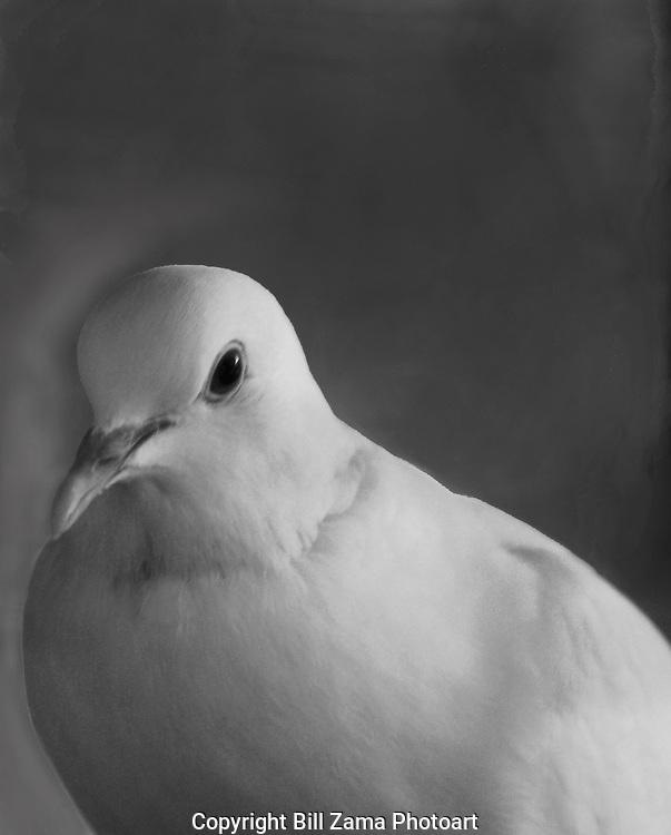 Domesticated White Dove close up