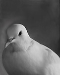Domesticated White Dove close up