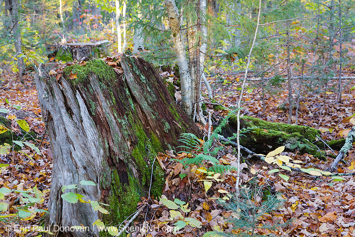 Decaying tree stump along the old Swift River Railroad (1906-1916) in Livermore, New Hampshire USA.